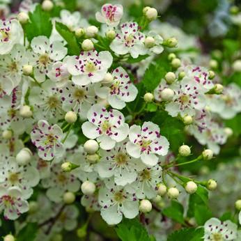 Weißdornblüten mit Blättern